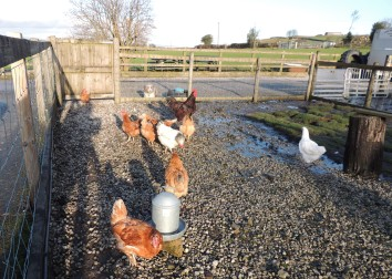 Rodney the rooster with his harem of hens.